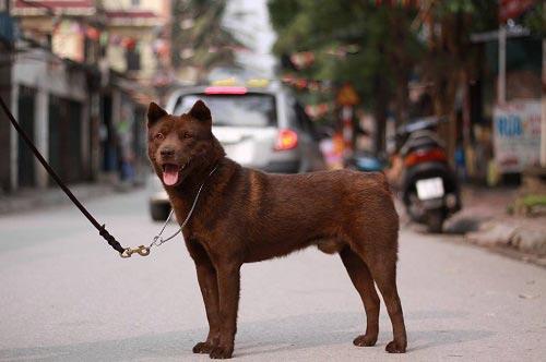 Image result for chó h'mông cộc đuôi