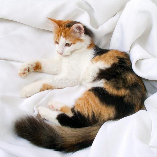 Mèo tam thể