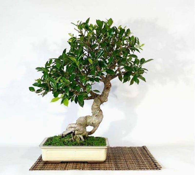 Cây Sâm Nhung 800x717