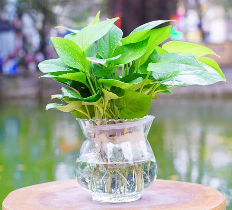 Cay Van Nien Thanh 6 800x724