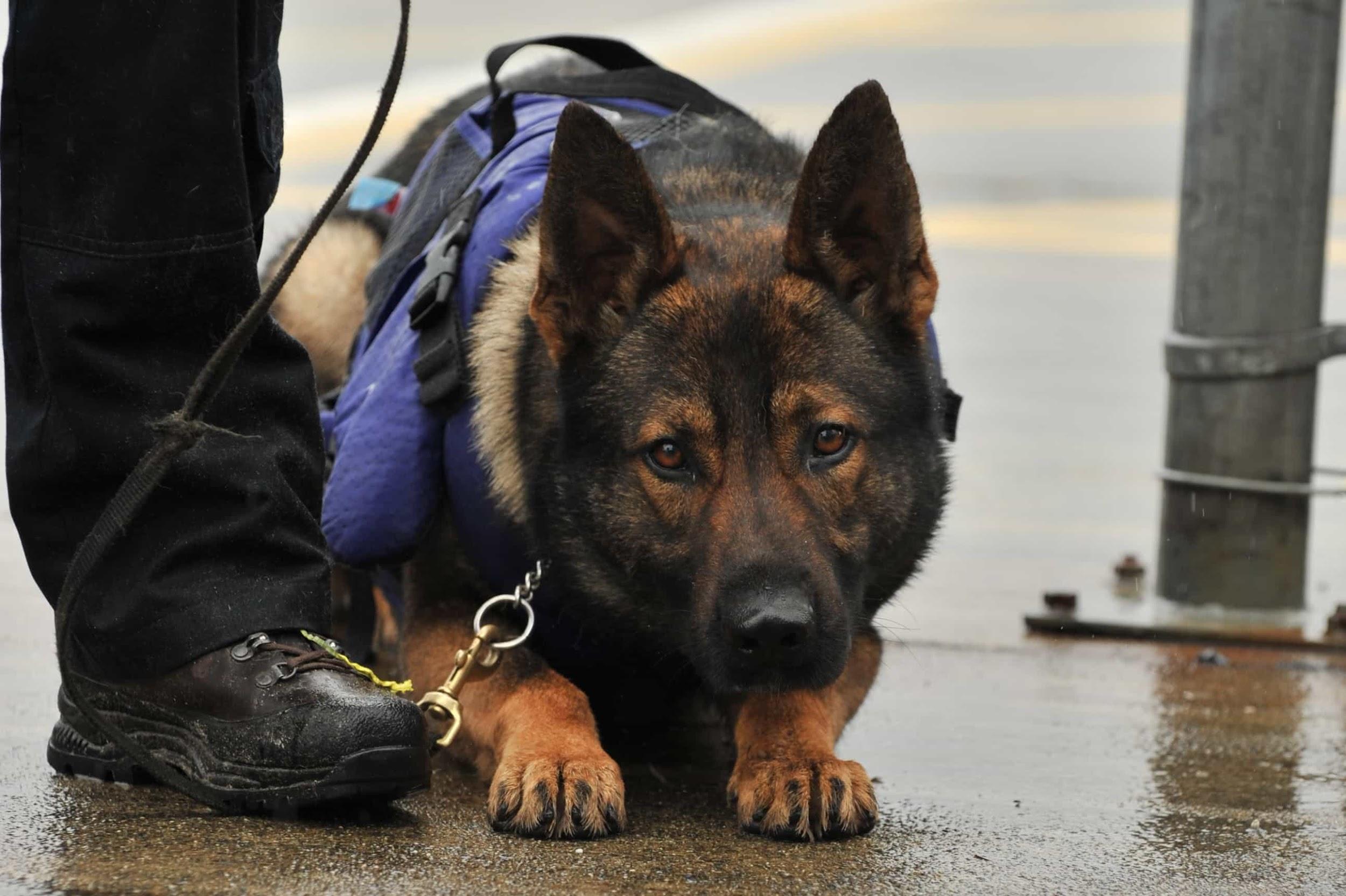 1 chú chó cảnh sát Mỹ