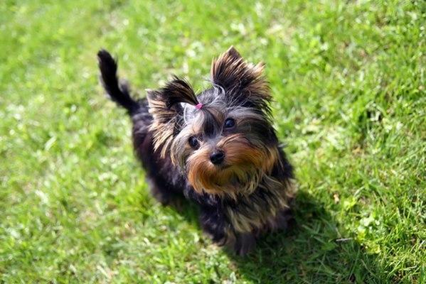 10 giống chó nhỏ bé đáng yêu nhất thế giới - 10