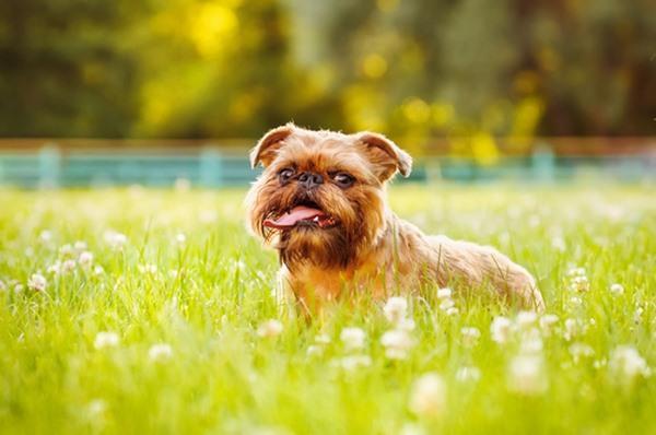 10 giống chó nhỏ bé đáng yêu nhất thế giới - 2