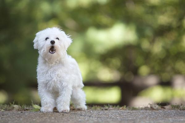 10 giống chó nhỏ bé đáng yêu nhất thế giới - 5