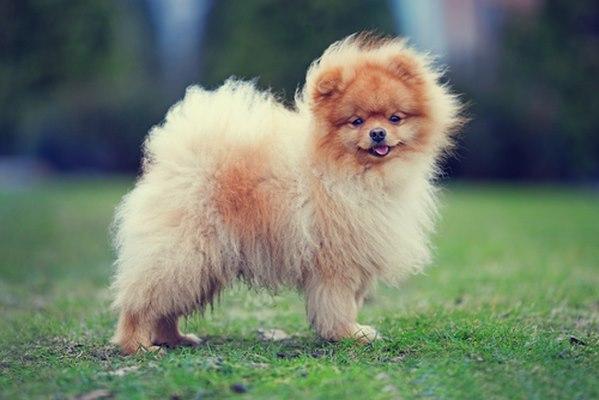 10 giống chó nhỏ bé đáng yêu nhất thế giới - 7