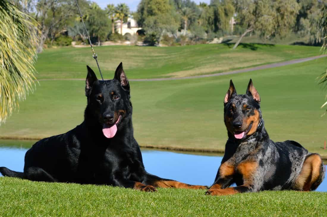 2 chú chó Beauceron nằm bên nhau ven hồ