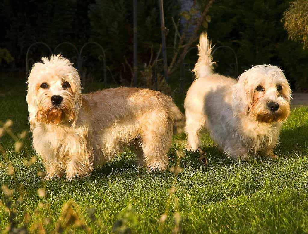 2 chú chó Dandie Dinmont