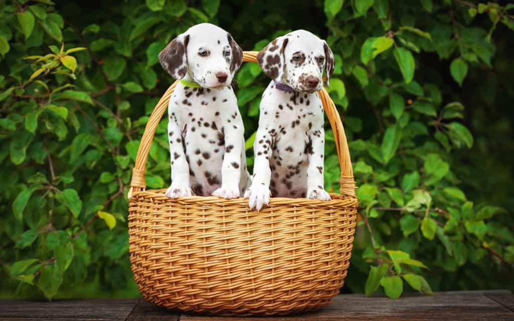 2 chú chó Đốm đẹp