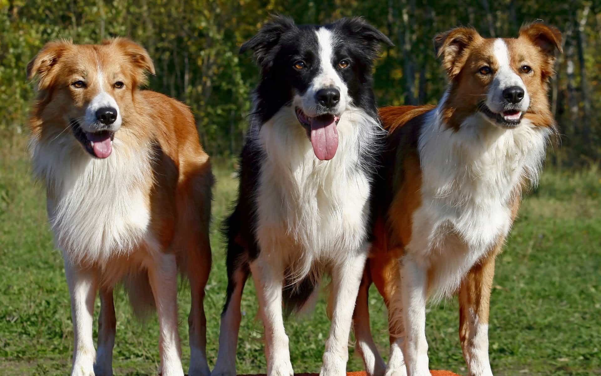 3 chú chó Collie biên giới cùng nhau khoe dáng