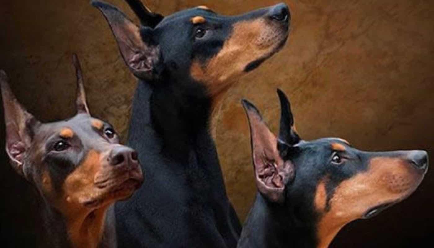 3 Doberman nhìn hướng lên