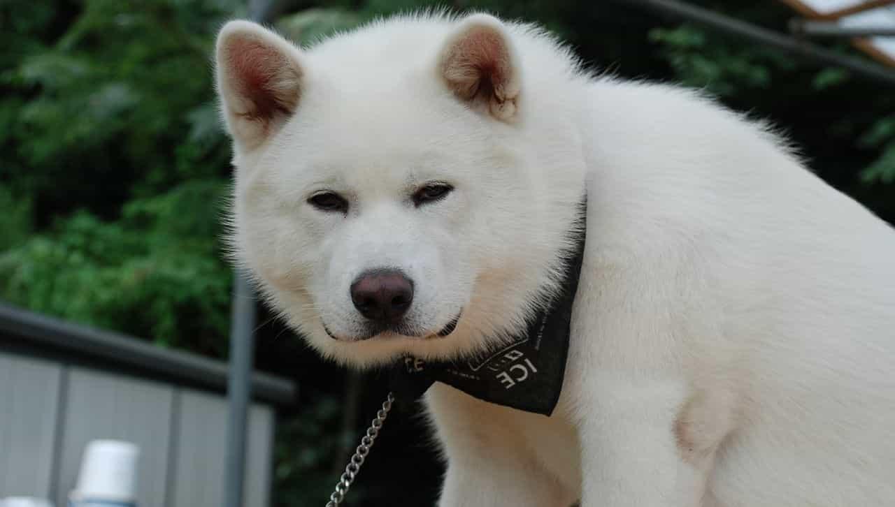 Akita màu trắng