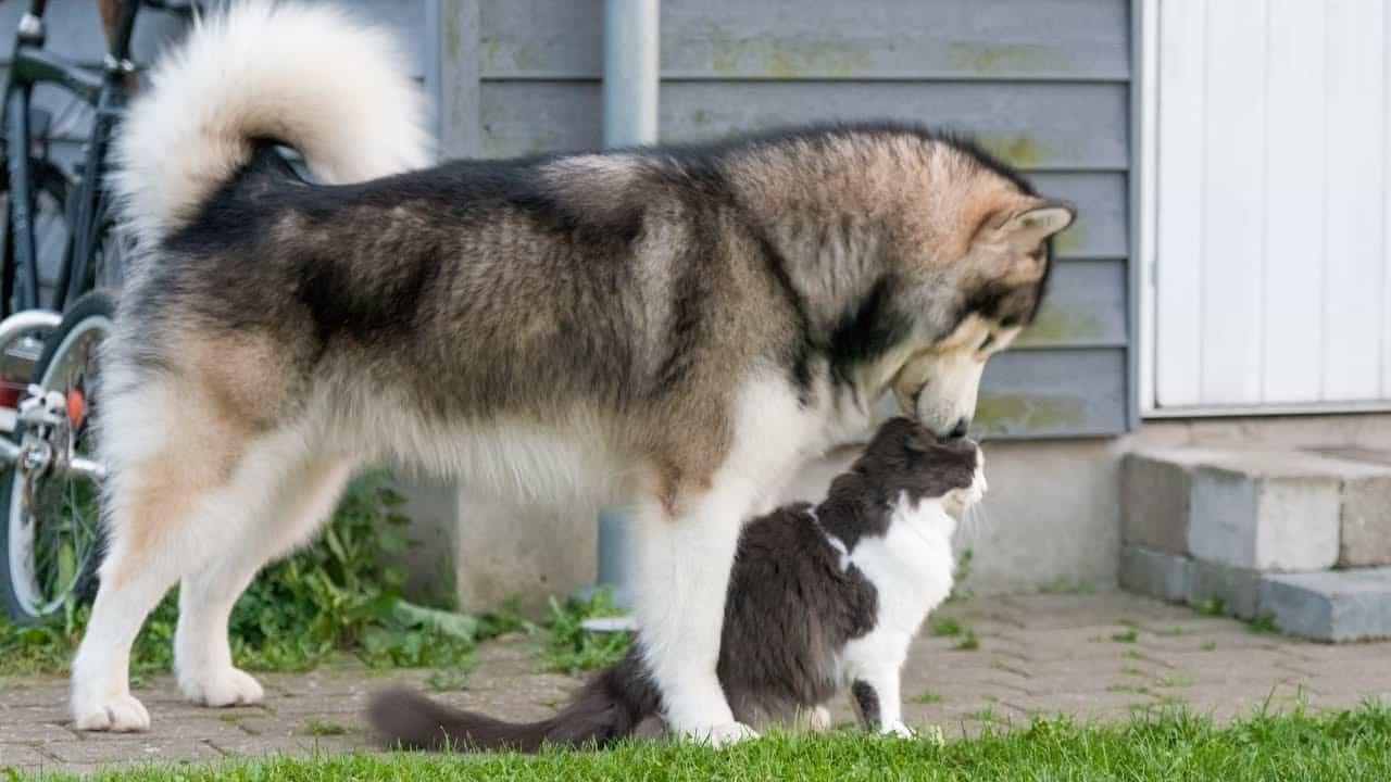 Alaska có thể hòa hợp với các loại vật nuôi khác
