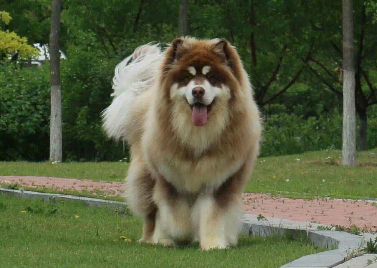 Alaska không lồ không được hiệp hội chó thế giới công nhận