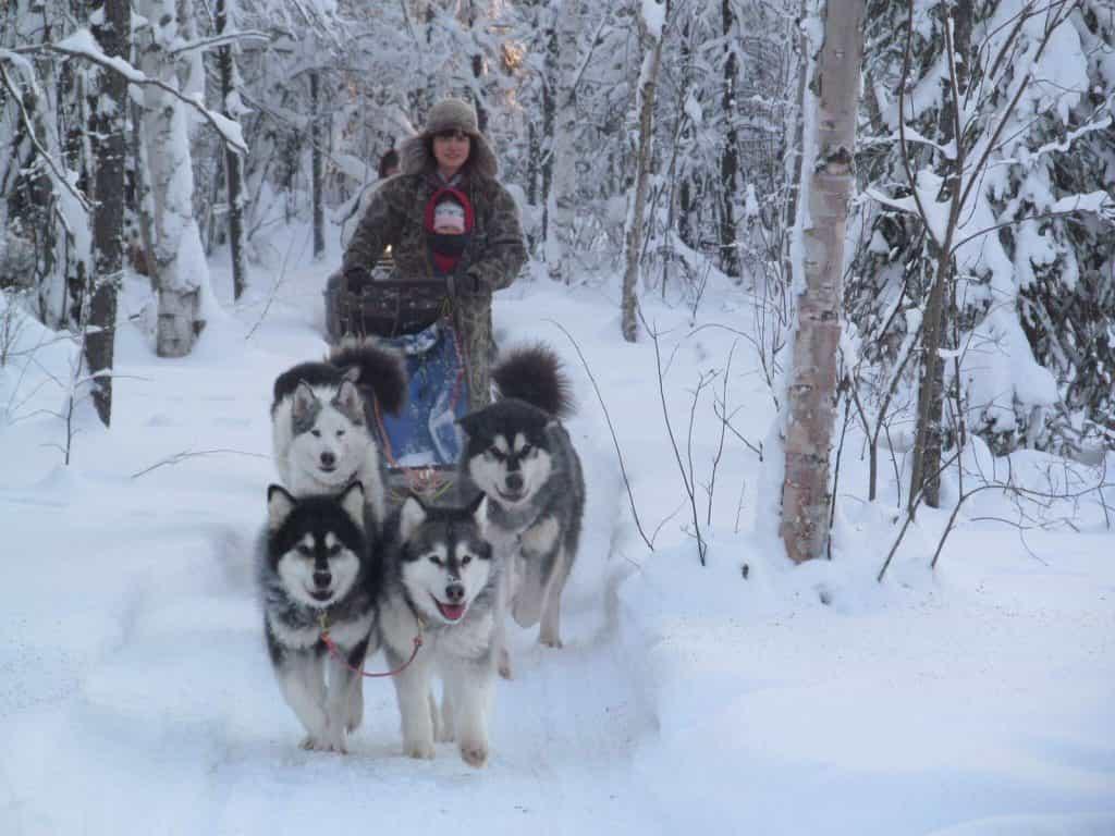 Alaska là giống chó siêng năng, chăm chỉ