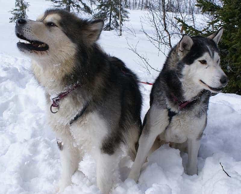 Alaska to con hơn so với Husky
