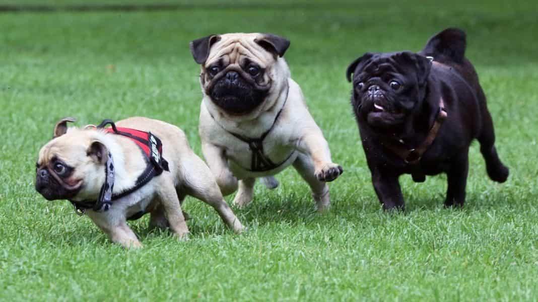 Ba chú chó Pug chạy đua