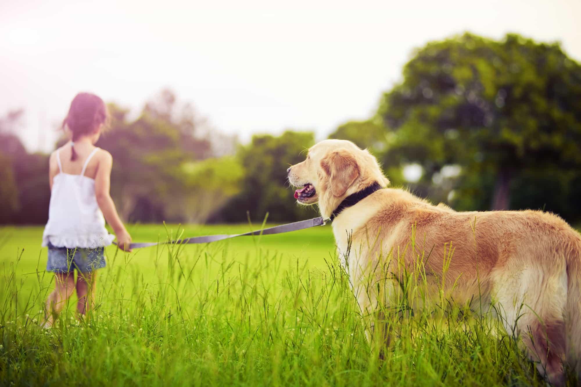 bán chó golden retriever