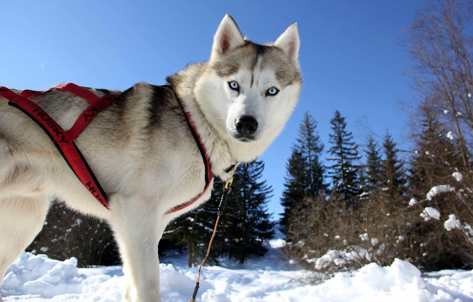 Bạn nên chọn một địa chỉ uy tín để mua chó Husky
