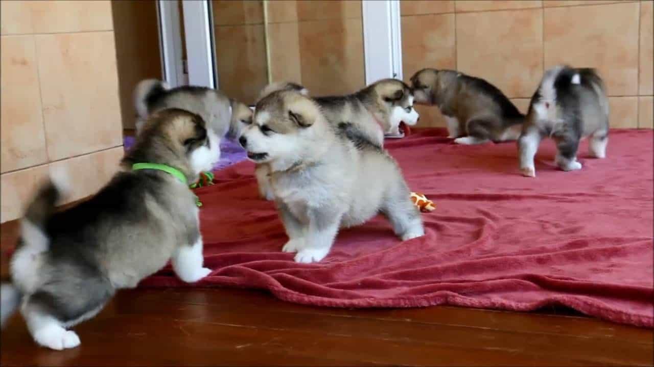 Bạn nên đến những trại chó Alaska để đặt mua