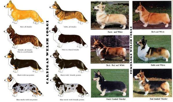Bảng màu chó Welsh Corgi