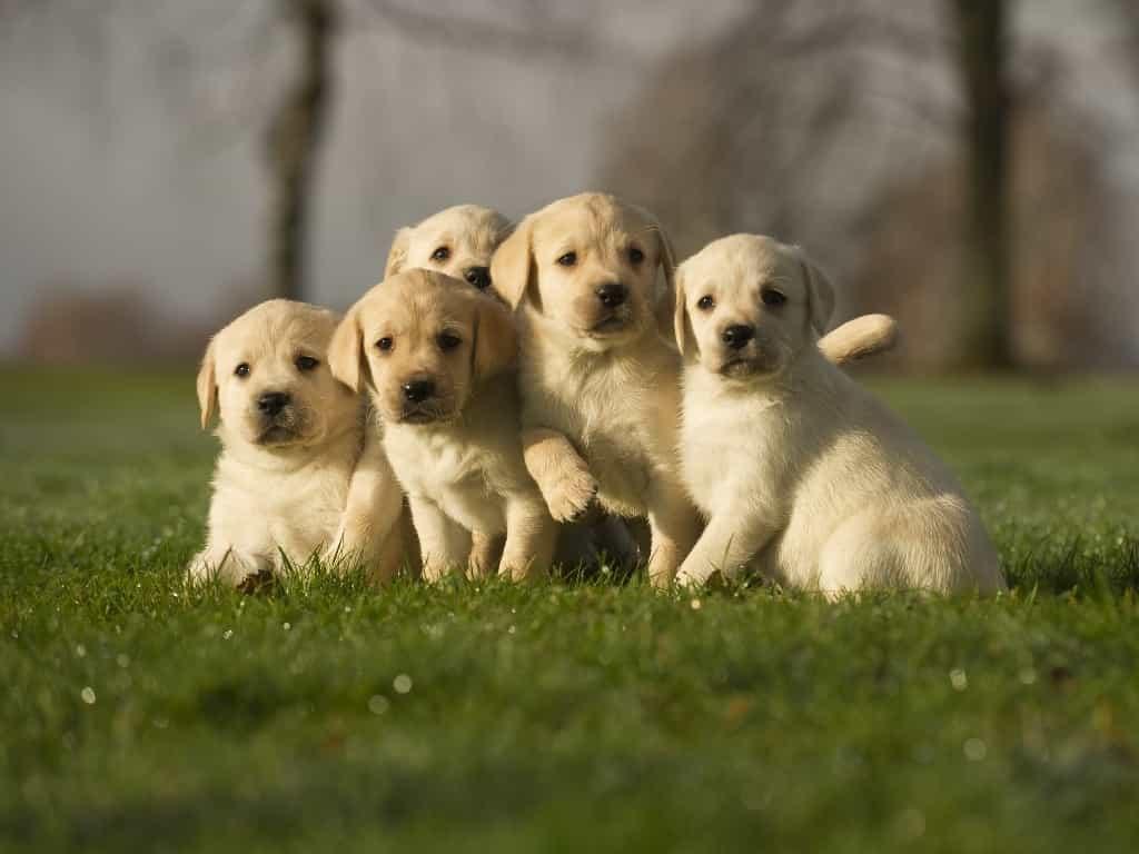 Bầy chó con Labrador