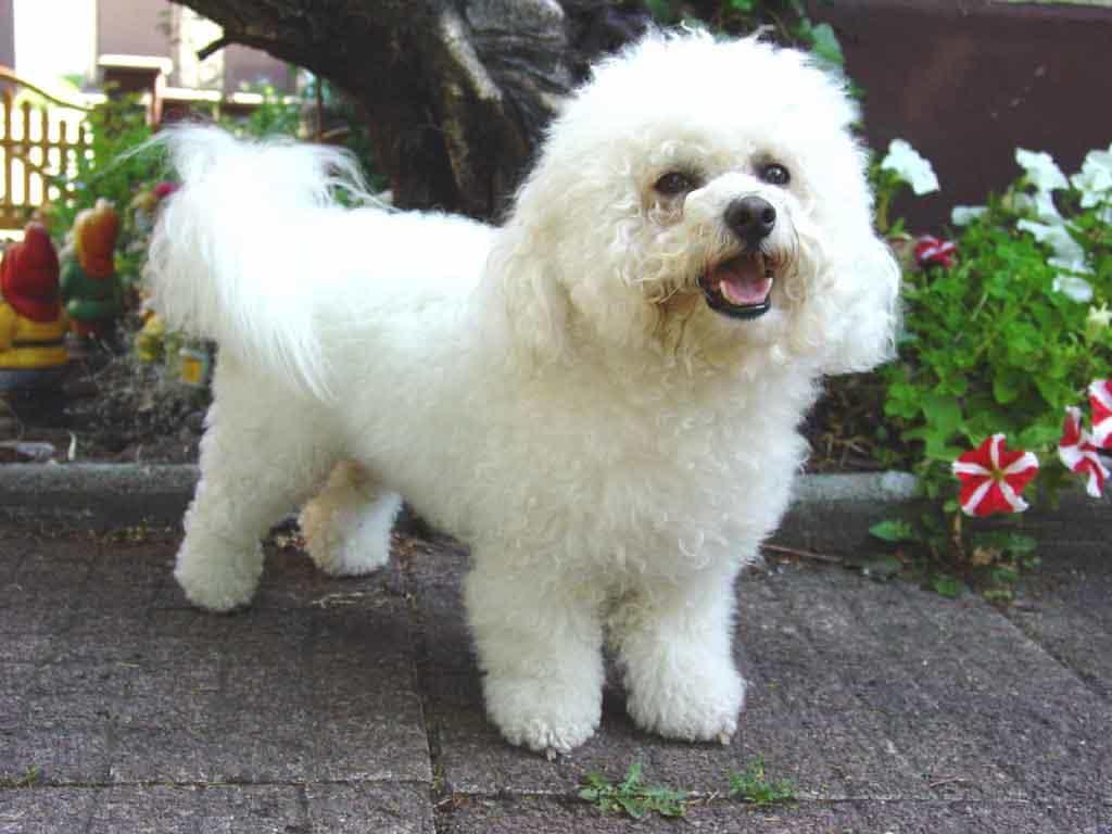 Bichon Frise lông trắng