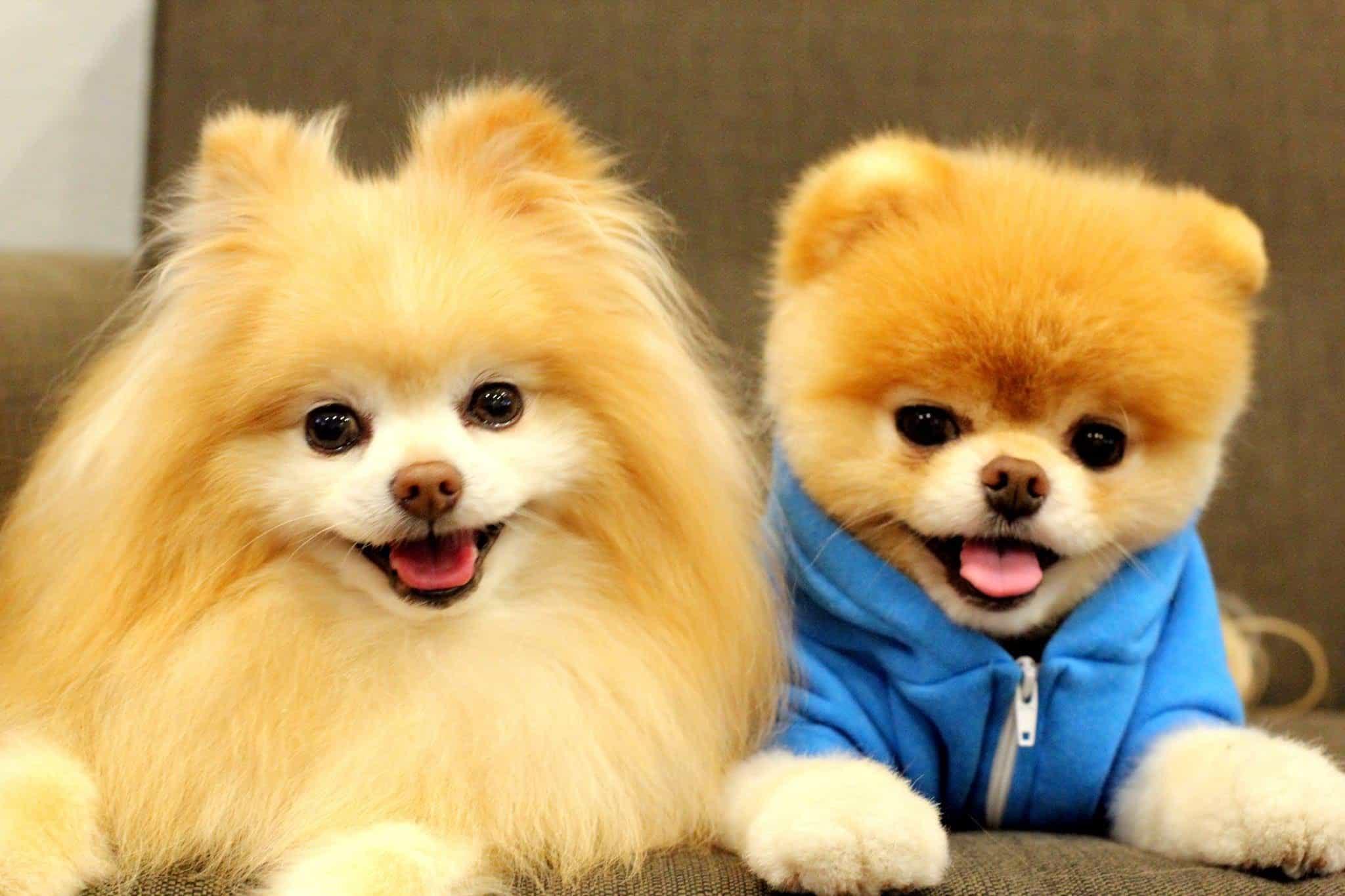 Bộ lông giống chó Boo giúp chó Phốc sóc dễ thương hơn