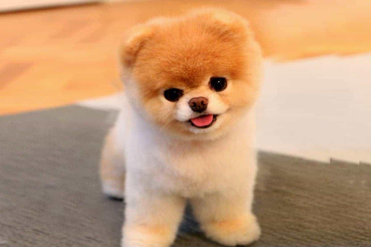 Boolà tên gọi của một chú chó Pom mặt gấu thuộc vào dòng chó Phốc sóc