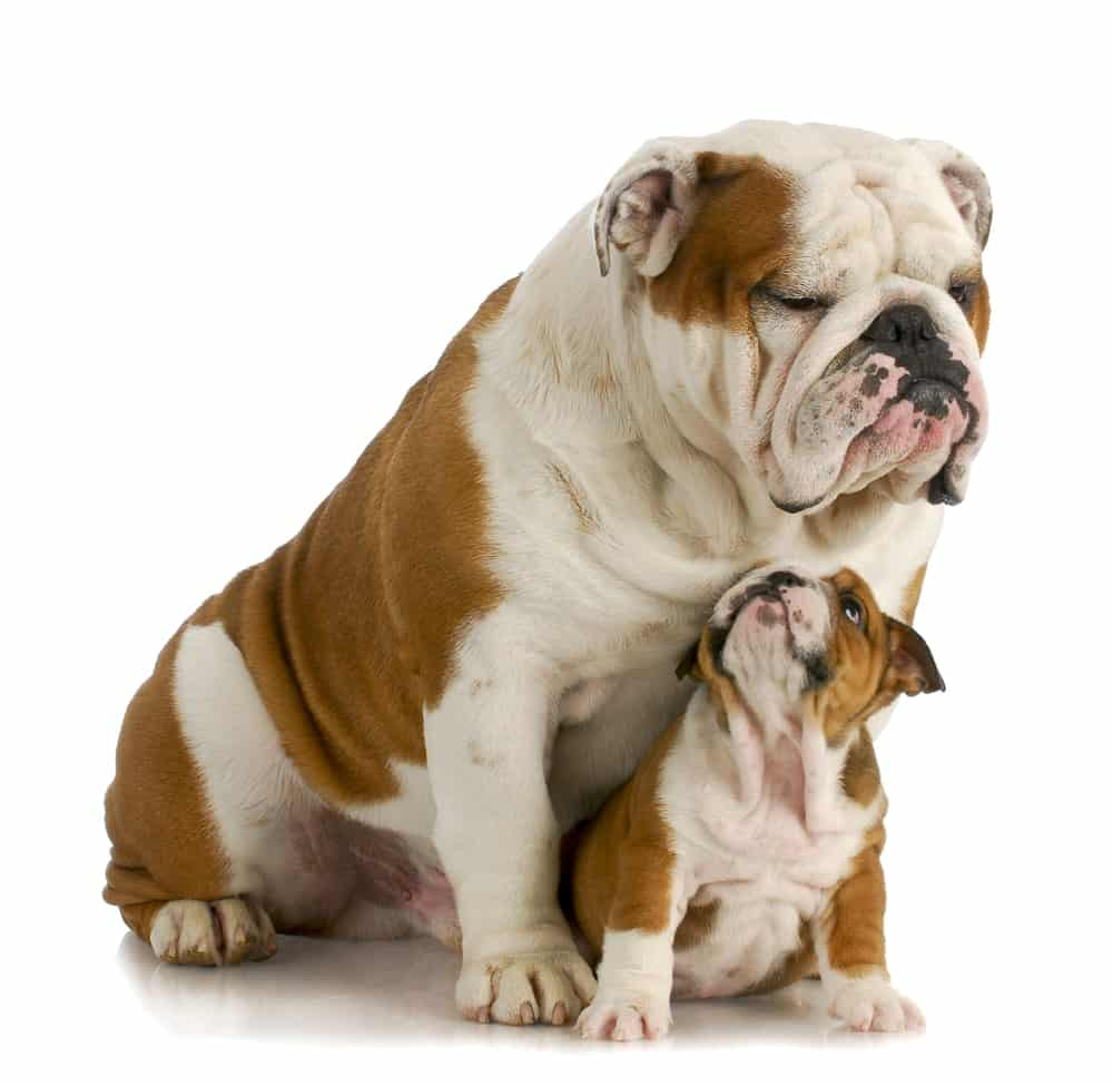 Bulldog mẹ và con