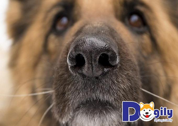 Cách điều trị cho chó khi bị chảy máu mũi