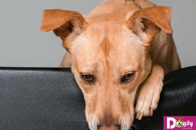Cách điều trị khi chó bị co giật