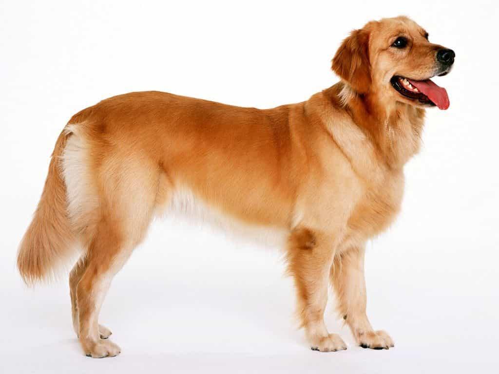 cách huấn luyện chó golden