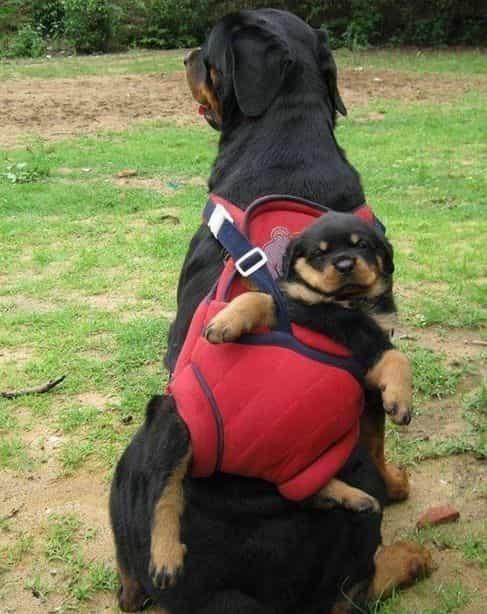 cách huấn luyện chó rottweiler