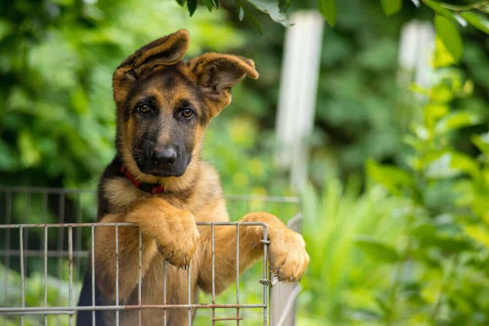 Cách khắc phục tai chó Becgie bị cụp