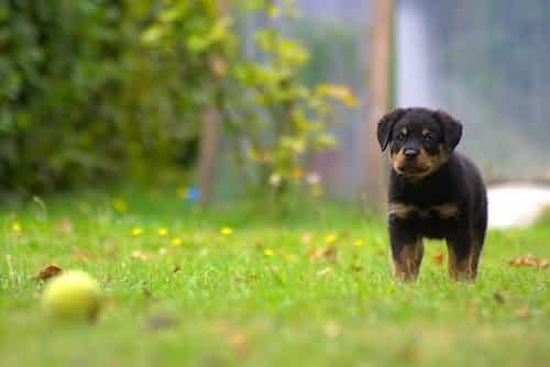 cách nhận biết chó rottweiler thuần chủng
