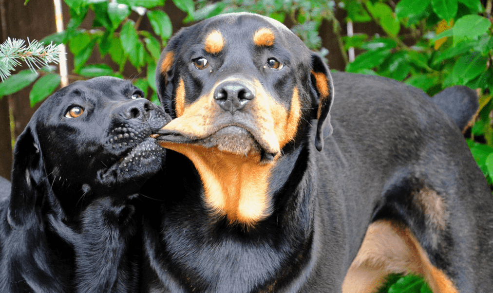 cách nuôi chó rottweiler 2 thang tuoi