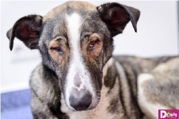 Cách phòng bệnh và đau mắt ở chó rất quan trọng để bảo vệ đôi mắt cho chúng