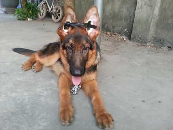 Cách phòng tránh tình trạng chó Becgie bị cụp tai