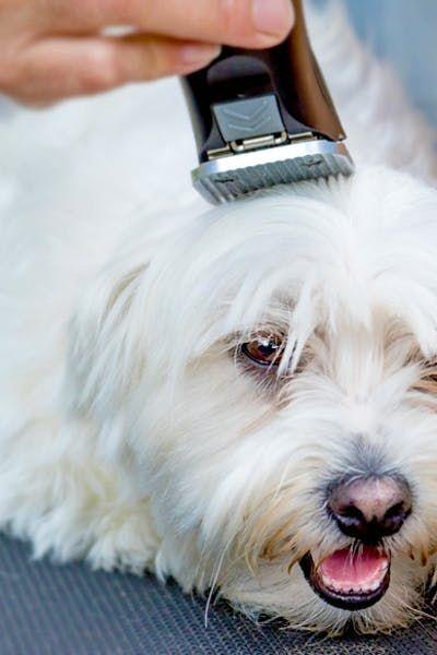 Cách tỉa lông cho chó Poodle