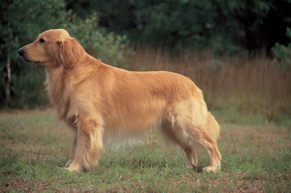 Cần điều trị sớm bệnh Viêm da ở chó