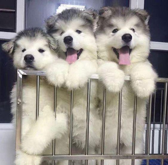 Cắt rốn cho cún con