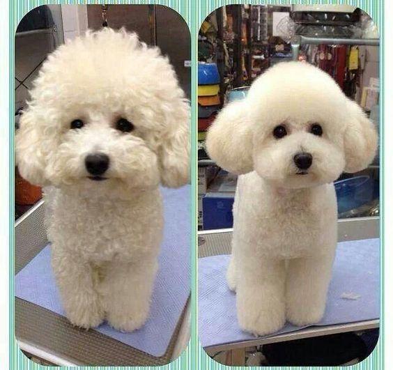 Cắt tỉa lông cho Poodle thường xuyên