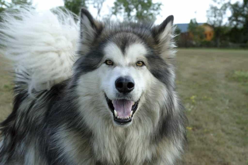 Chăm sóc chó Alaska khi mang thai