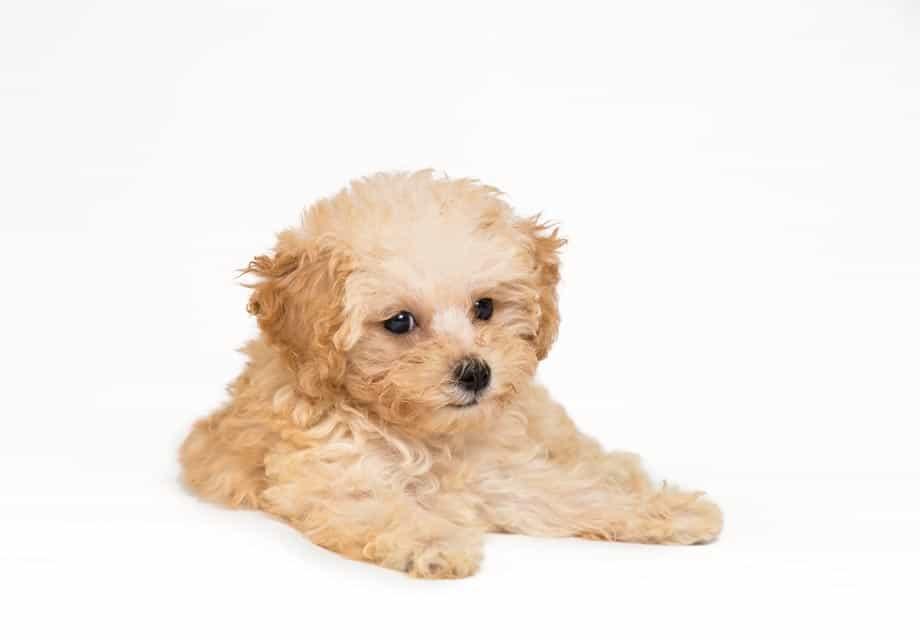 chăm sóc lông cho chó Poodle