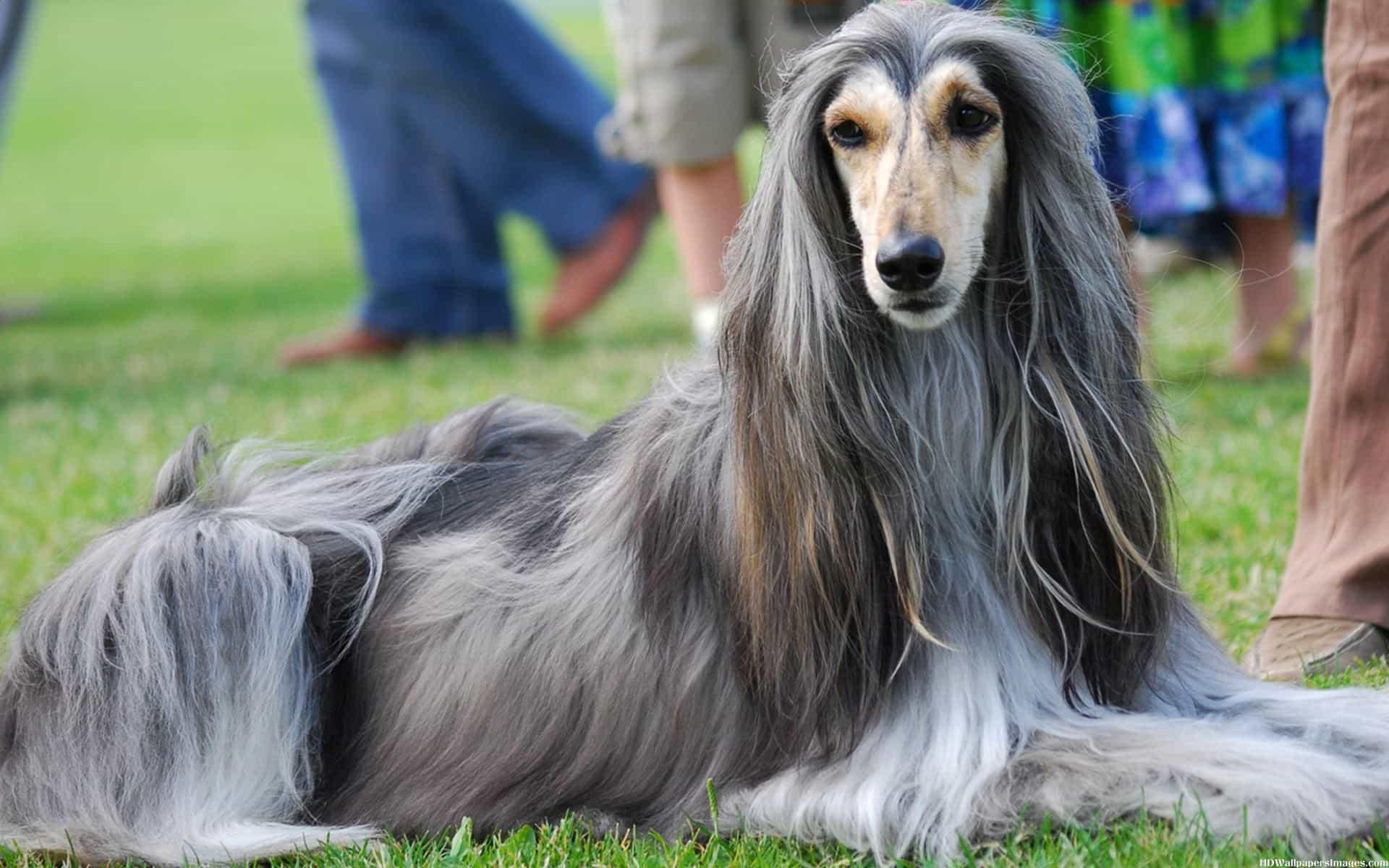 Chó Afghan Hound