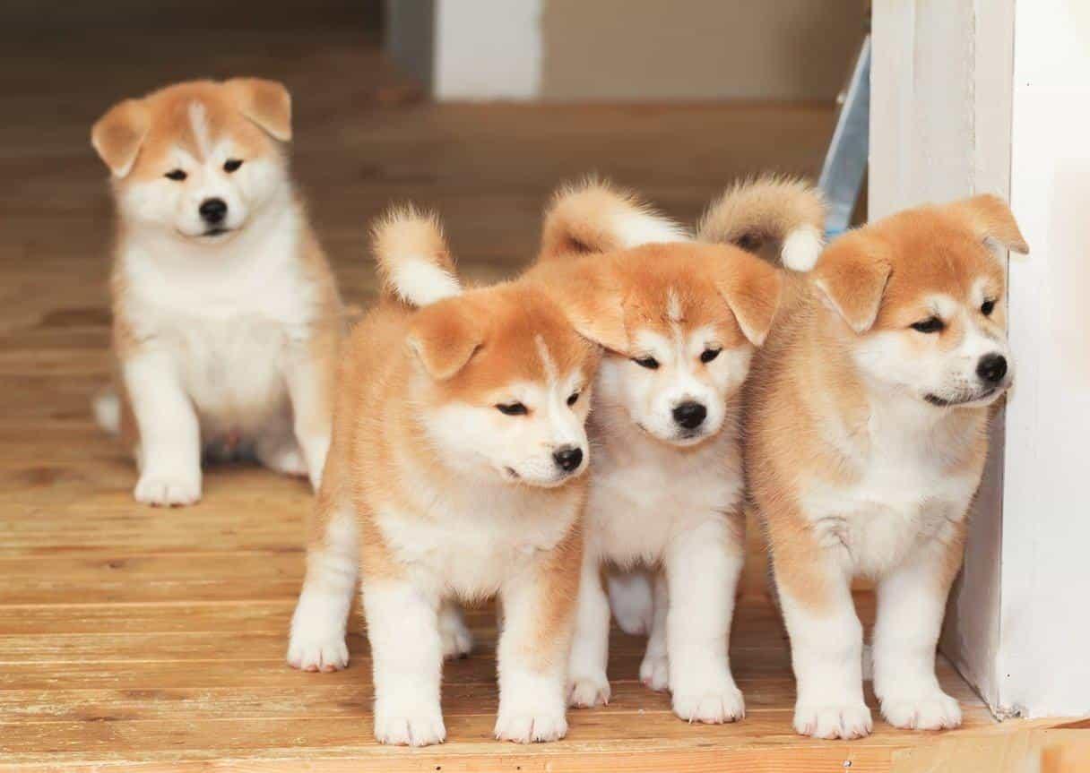 Chó Akita con
