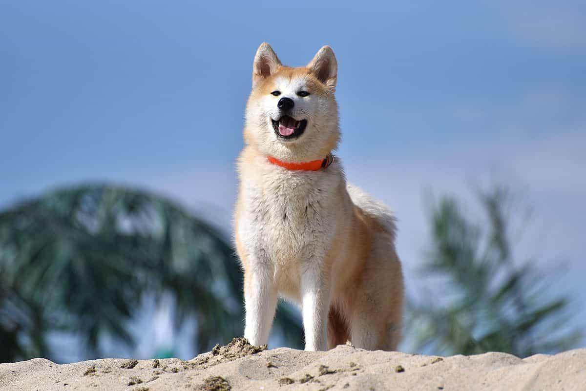 Chó Akita đứng