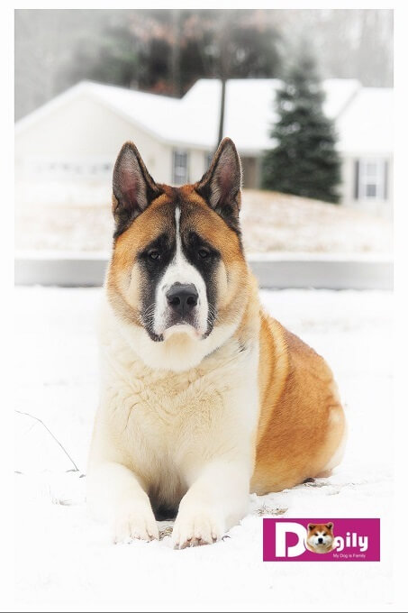 Chó Akita Mỹ thường to lớn hơn chó Akita Inu