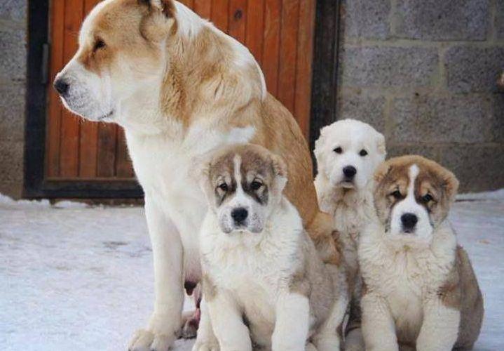 Chó Alabai sống với mẹ