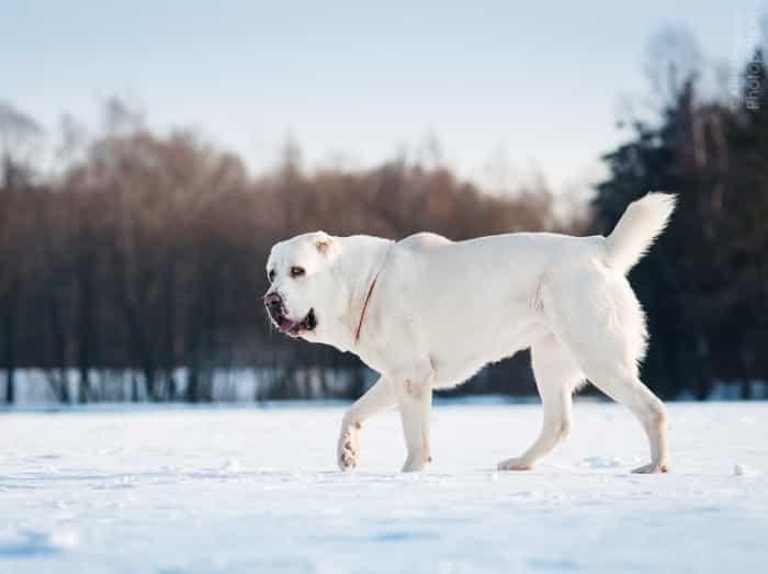 Chó Alabai trên tuyết